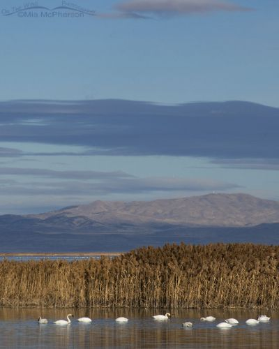 Tundra Swans in the marshes of Bear River MBR