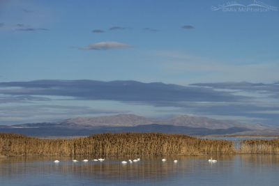 Winter Tundra Swan landscape