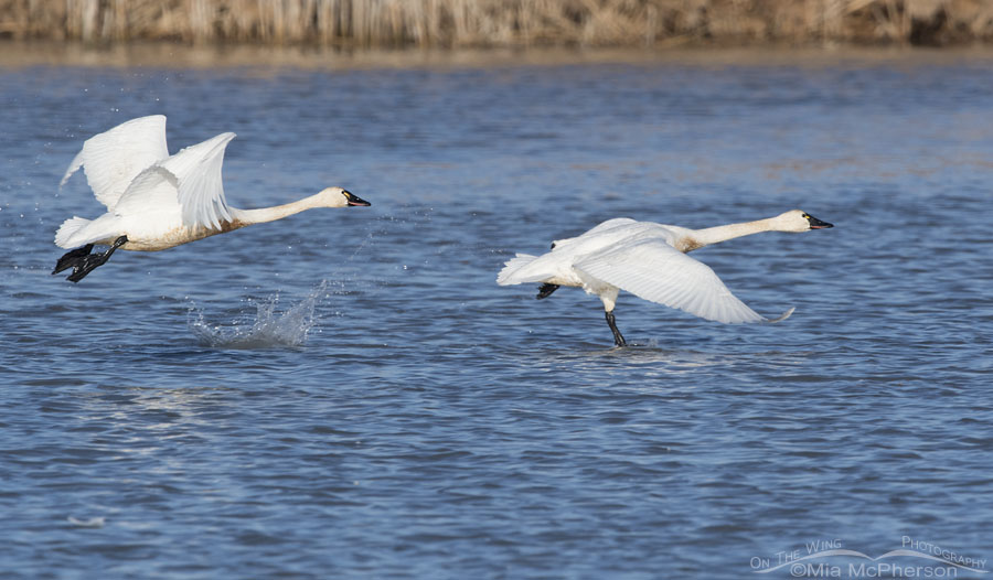 Tundra Swans lifting off from the water