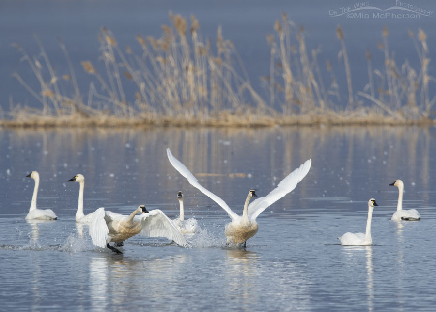 Tundra Swans lifting off from the Bear River Migratory Bird Refuge