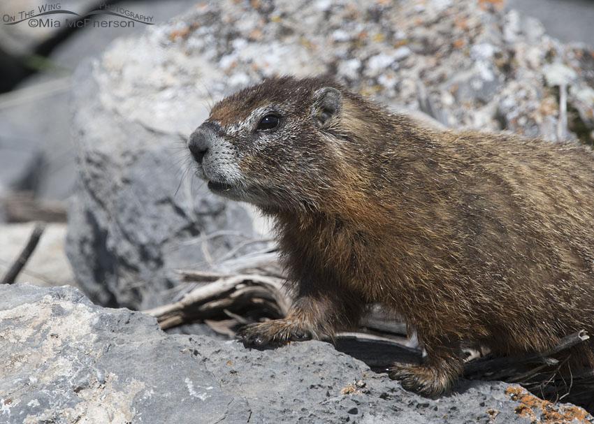 Northern Utah Yellow-bellied Marmot portrait