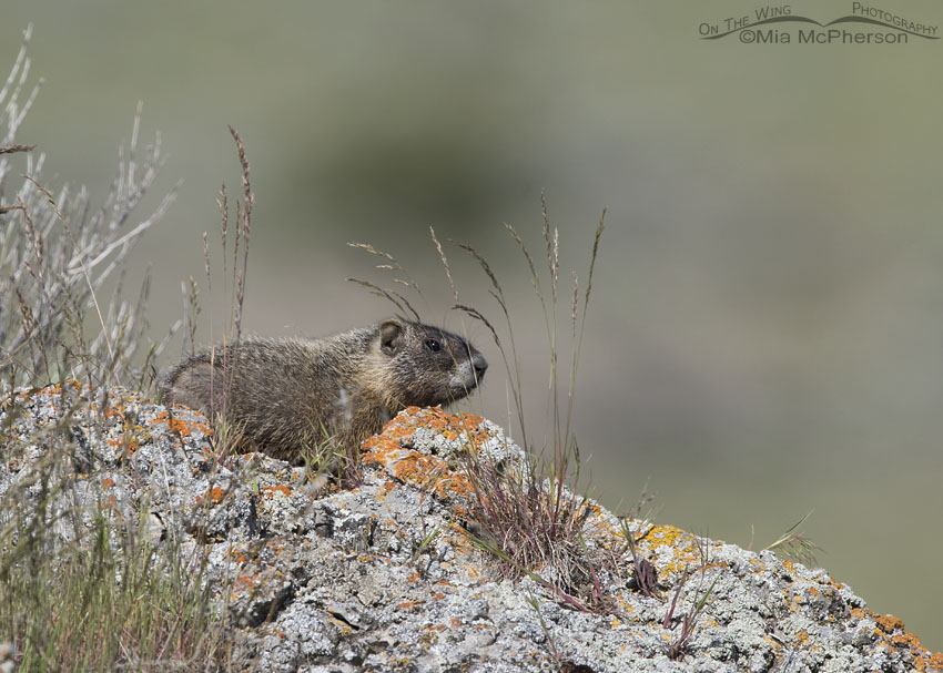 Wary Yellow-bellied Marmot pup