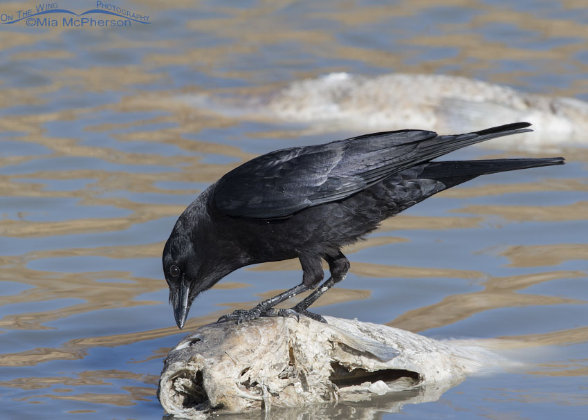 American Crow feeding on a dead Asian carp