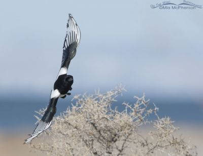 Adult Black-billed Magpie on the wing