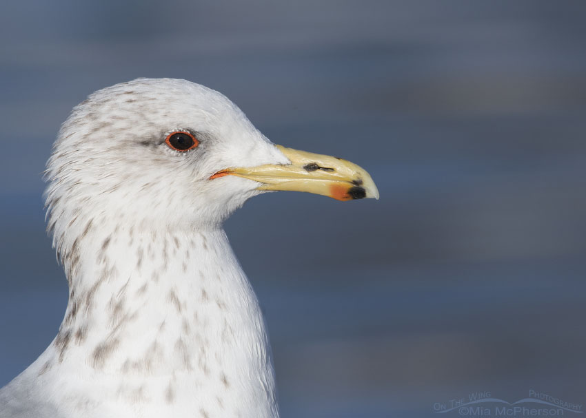 Winter California Gull profile portrait