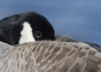 Resting Canada Goose close up