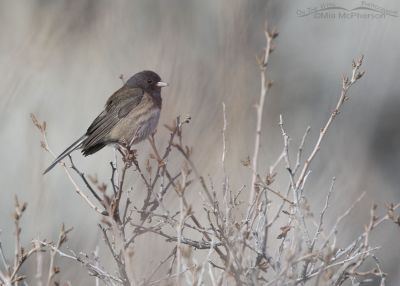 Dark-eyed Junco in early spring