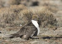 Male Greater Sage-Grouse on a high sagebrush steppe