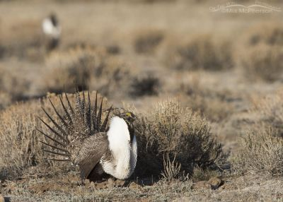 Greater Sage-Grouse on a frigid morning