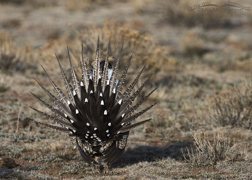 Spread tail of a male Greater Sage-Grouse