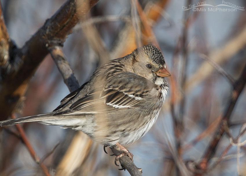 Harris's Sparrow near Glover Pond
