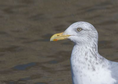 Winter Herring Gull profile portrait