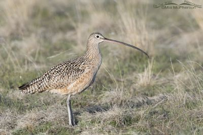 Male Long-billed Curlew in the grasses on Antelope Island