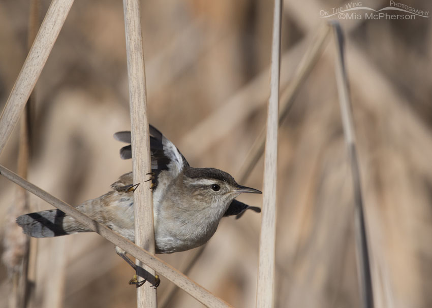 Marsh Wren lifting off from a cattail