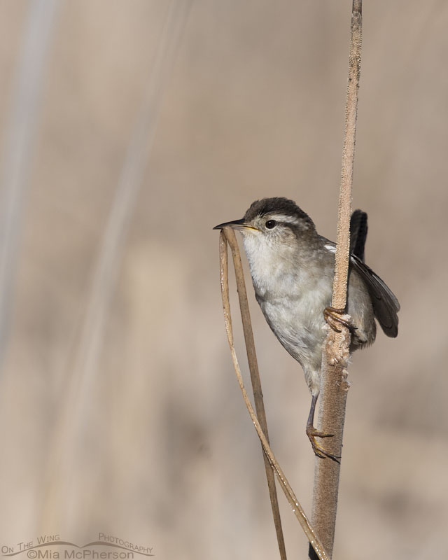Marsh Wren with nesting material