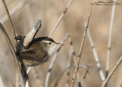 Saucy little Marsh Wren