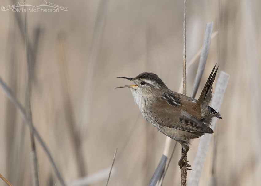 Marsh Wren singing on his territory