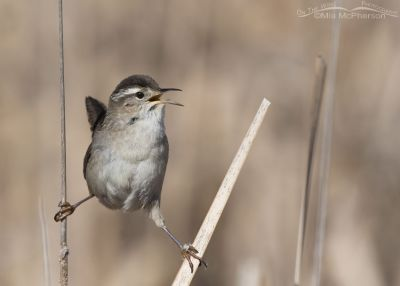 Marsh Wren singing near its nest
