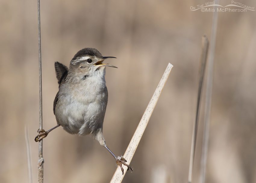 Marsh Wren singing near its nest