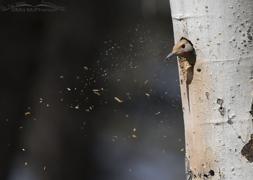 Male Northern Flicker excavating a nest