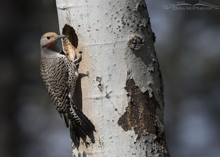Northern Flicker male outside his nesting cavity