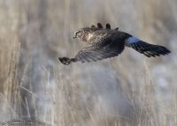 Northern Harrier hovering over a grassy field
