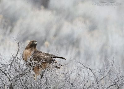 Red-tailed Hawk, midges and low light