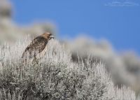 Adult Red-tailed Hawk perched on top of sagebrush