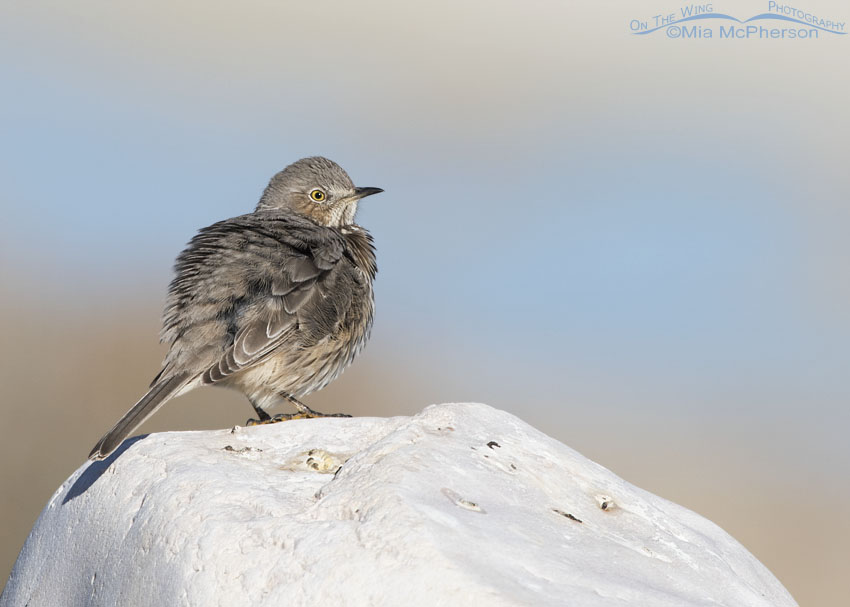 Early Sage Thrasher warming up on a rock in front of the Great Salt Lake