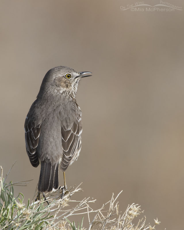 Singing Sage Thrasher on top of Rabbitbrush