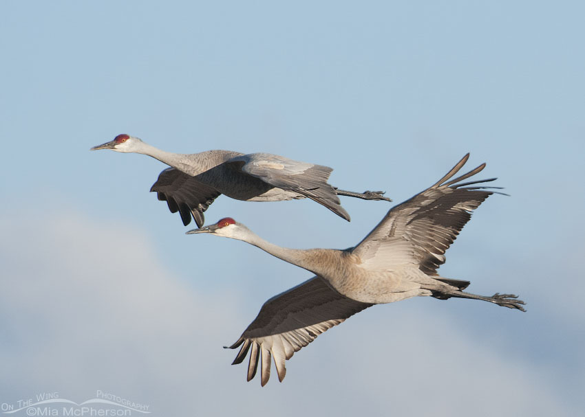 Pair of Sandhill Cranes in flight during spring migration