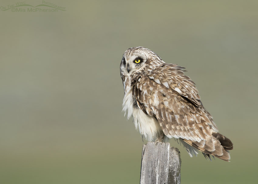 Fluffed up adult male Short-eared Owl in northern Utah