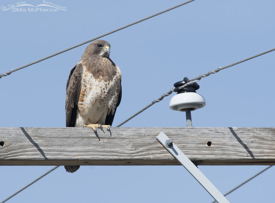 First of Year Swainson's Hawk