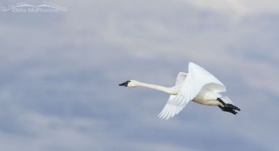 Tundra Swan flying and cloudy sky