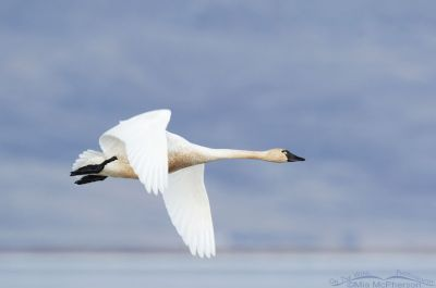 Low light Tundra Swan in flight