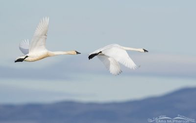 Tundra Swans flying east over the marsh at Bear River