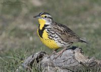 Western Meadowlark on a Bison manure perch