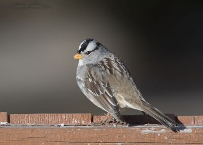 White-crowned Sparrow on a fence rail