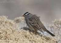 Windblown White-crowned Sparrow