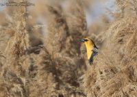 Springtime Yellow-headed Blackbird