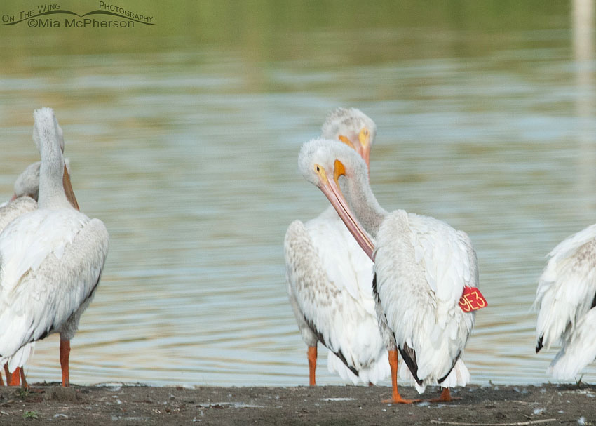 Banded and Wing Tagged American White Pelican 9E3