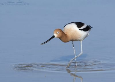 Foraging male American Avocet at , Bear River Migratory Bird Refuge, Box Elder County, Utah