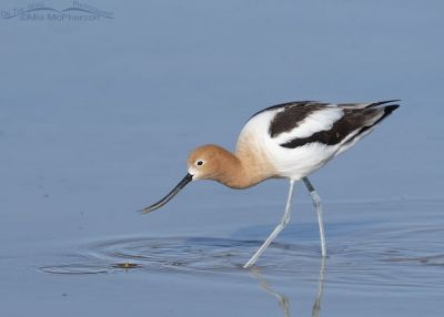Foraging American Avocet in Breeding plumage, Bear River Migratory Bird Refuge, Box Elder County, Utah