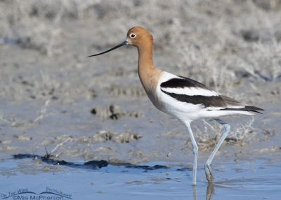 Male American Avocet at the edge of a pond, Bear River Migratory Bird Refuge, Box Elder County, Utah