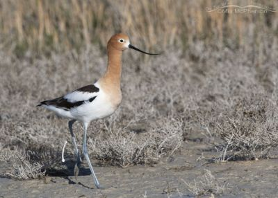 American Avocet female defecating, Bear River Migratory Bird Refuge, Box Elder County, Utah