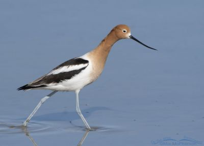 American Avocet male striding through shallow water, Bear River Migratory Bird Refuge, Box Elder County, Utah