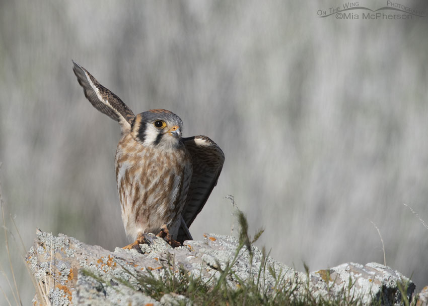 Female American Kestrel lifting off after consuming her prey