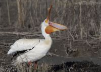 American White Pelican with bill wide open, Bear River Migratory Bird Refuge, Box Elder County, Utah
