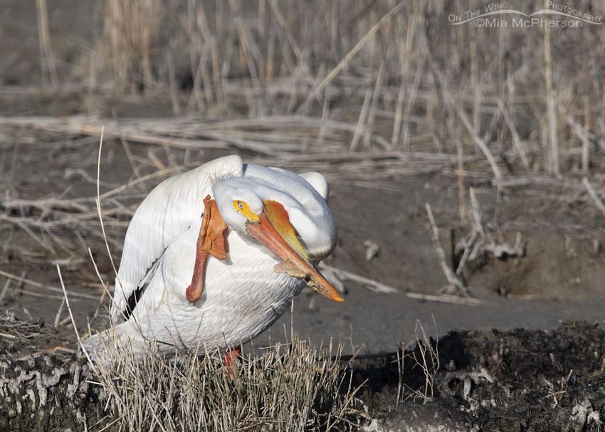 American White Pelican scratching its head, Bear River Migratory Bird Refuge, Box Elder County, Utah