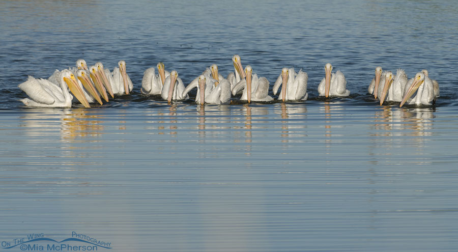 American White Pelicans feeding on Glover Pond